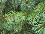 Tu árbol personal según el horóscopo celta Abeto