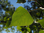 Tu árbol personal según el horóscopo celta Álamo