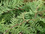 Tu árbol personal según el horóscopo celta Ciprés