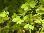 Tu árbol personal según el horóscopo celta Haya
