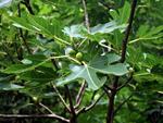 Tu árbol personal según el horóscopo celta Higuera