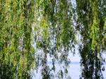 Tu árbol personal según el horóscopo celta Sauce