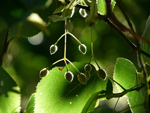 Tu árbol personal según el horóscopo celta Tilo